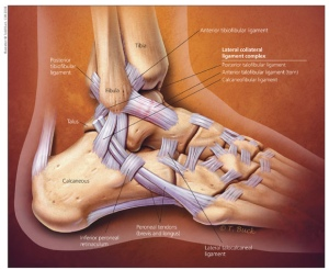 ankle anatomy jmm